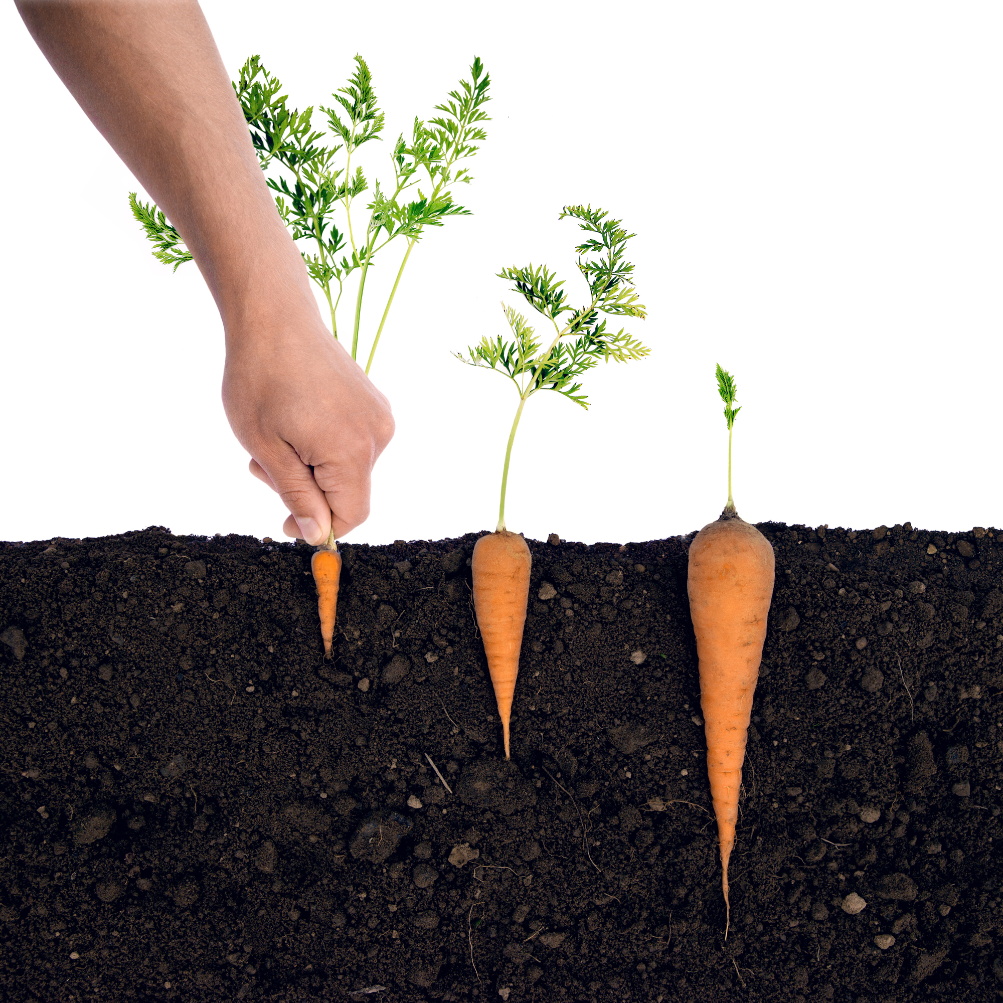 carrots being pulled out of dirt